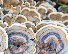 Shelf fungi in the food forest