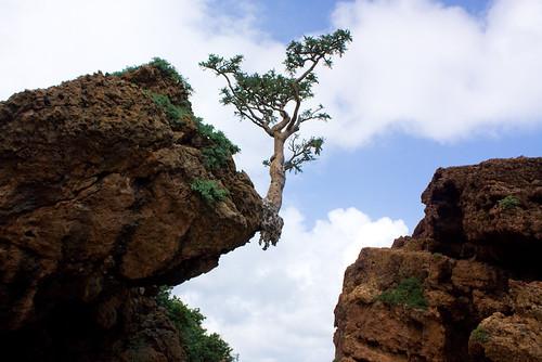 frankincense tree