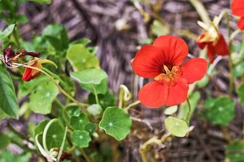 nasturtium in the garden