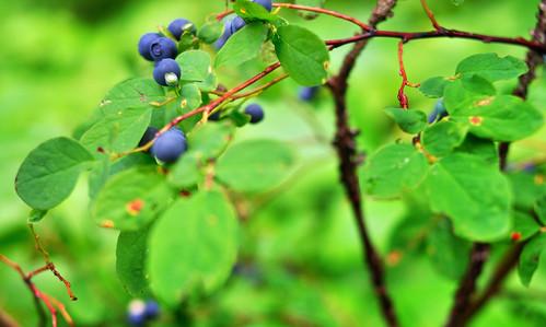blueberries or huckleberries