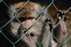 Javaneraffe im Zoo d'Amnéville