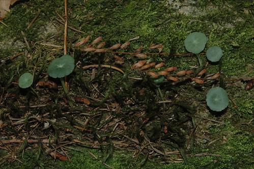 Marsh Pennywort (Hydrocotyle vulgaris) in a Polytrichum tuft