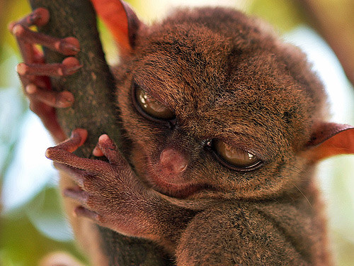 tarsier-philippines-01 by you.