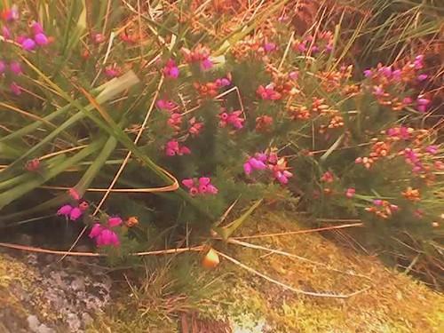 Heather in Bloom Ireland