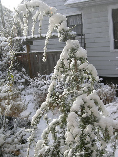 Snowy Weeping Conifer