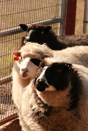 Salyer Sheeps