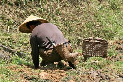 Planting taro