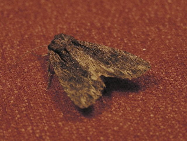 Moth on the table