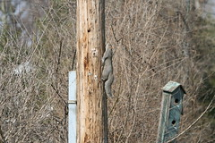Squirrel climbing a pole