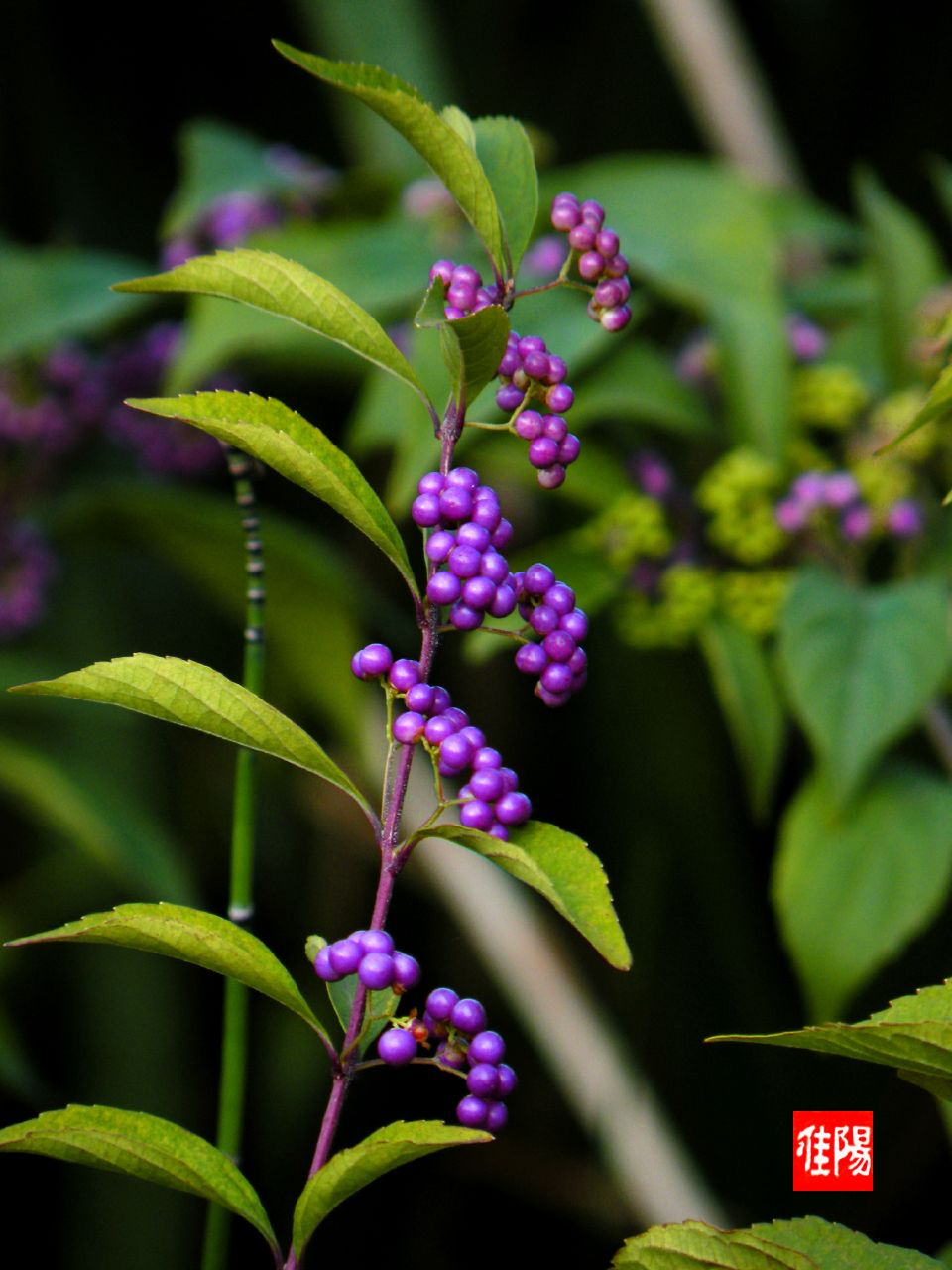P80-Orf_P-Berries_2009-09_09A