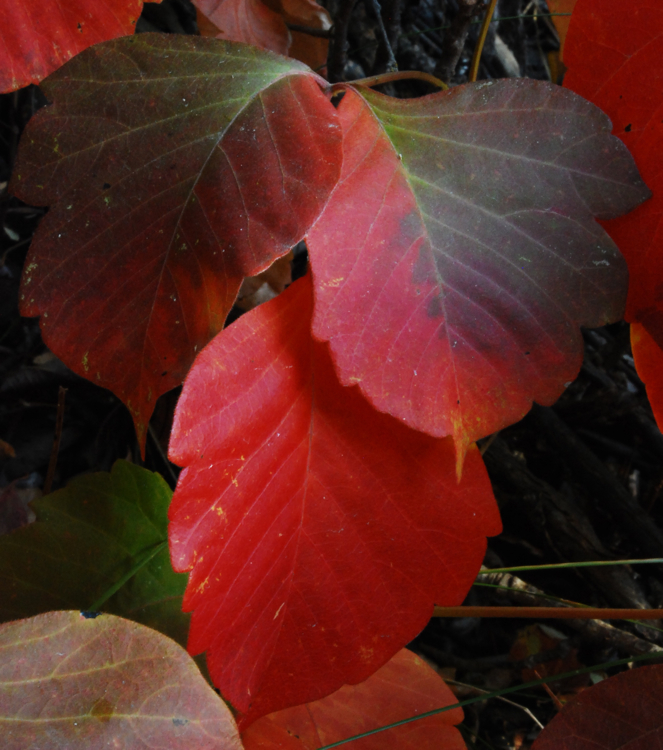 Poison Ivy; Fall colors