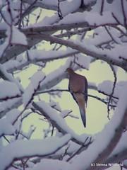 Winter Morning Dove