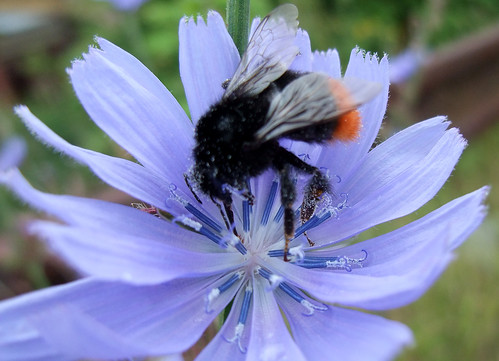 Blue flower & bumble bee