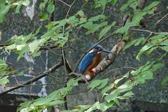 泉の森のカワセミ(Kingfisher, Izuminomori park, Yamato, Kanagawa, Japan)