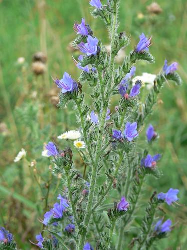 Sinking Creek Mountain - Blue Purple Wildflowers