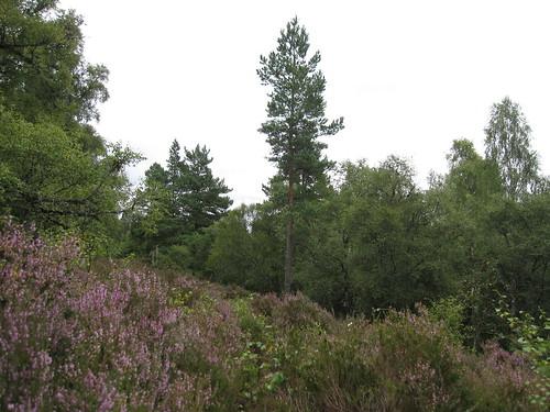 Heather on the Scottish Hillside