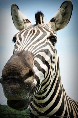 Henry's Ark: Zebra