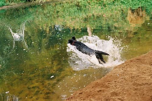 Dog Diving