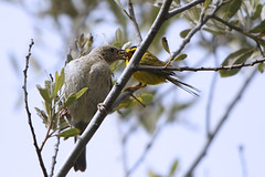 "Wilson's Warbler feeding it's Cowbird chick  ""offspring"""