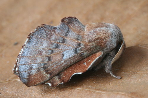 7687 - Phyllodesma americana - Lappet Moth (2)