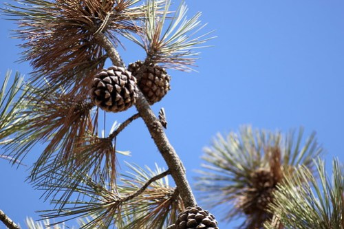 pinecones in torrey pines