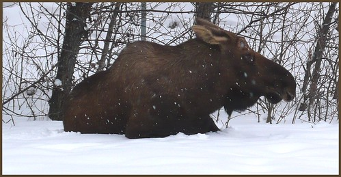 A moose relaxes in midtown Anchorage near the post office.