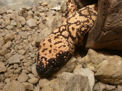 WI, Madison Zoo 12 - Beaded Gila Monster