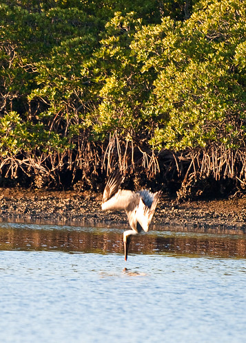 Pelican Goes Fishing