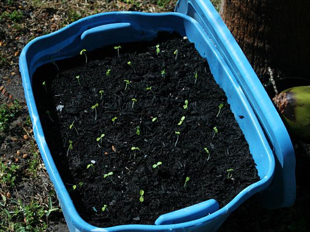 Papaya Seedlings Replanted