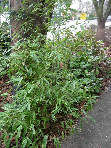 Variegated bamboo on the street