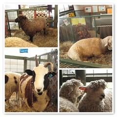 sheepies at Rhinebeck