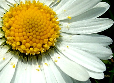 ... give me your answer do! I love this shot, which illustrates the beauty of the common daisy, which we overlook so easily...