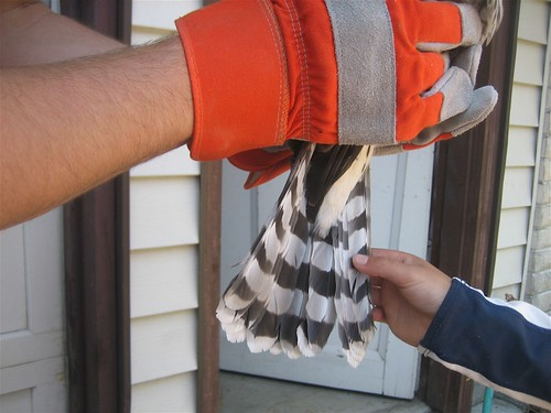 Hawks' tailfeathers