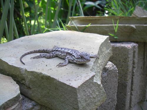 fence post lizard