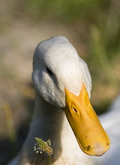 White Duck Portrait