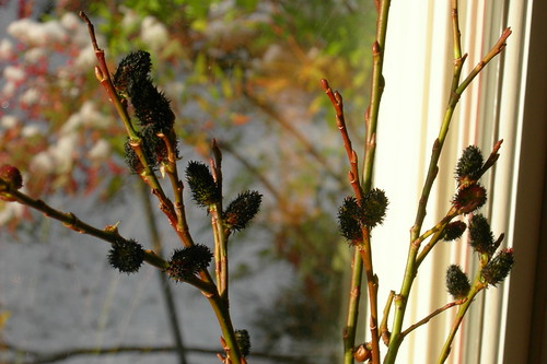 Black pussy willows in winter light