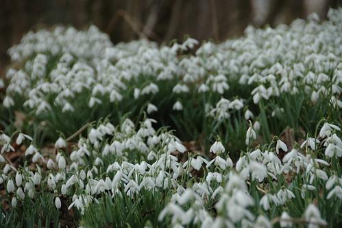 abundance of snowdrops