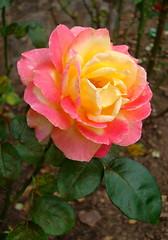 biltmore garden peace rose