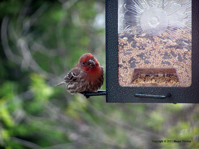 """Purple"" or Crimson Finch"