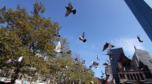 Pigeons at Copley Square III