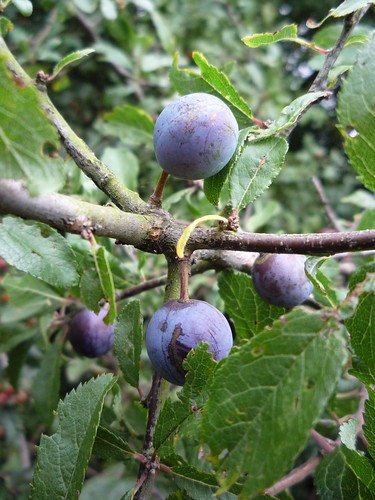 Sloes by you.
