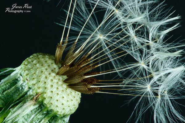 A few wishes yet remain on the head of this dandelion.