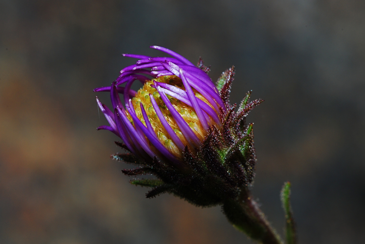 Great Northern Aster