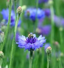 Blue Flower & A Bee