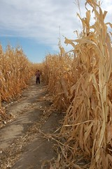 In the Maze of Maize