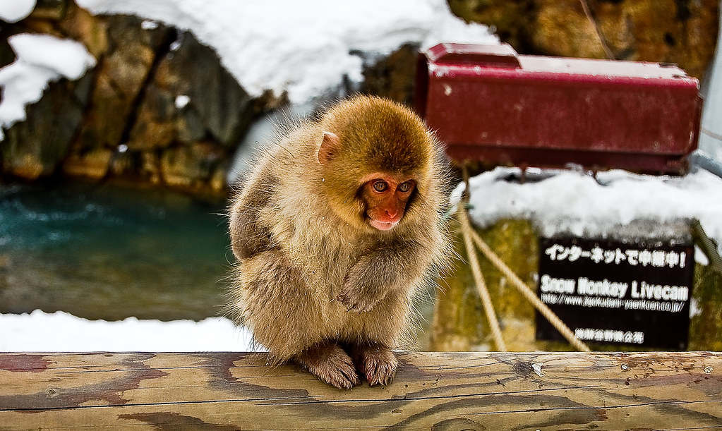 Amber's Snow Monkeys