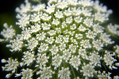 Daucus carota QUEEN ANNE'S LACE