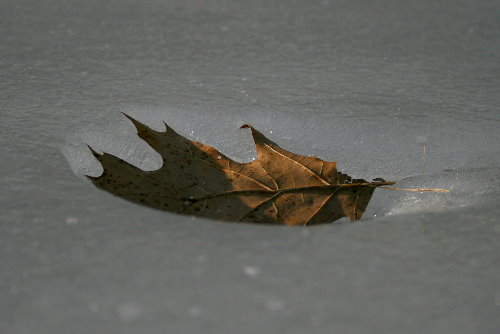 Leaf-warmed ice