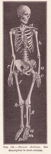 pg 192 Human Skeleton