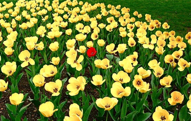 Lone red tulip.